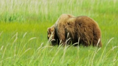 Brown Bear feeding Alaska, USA — Stock Video