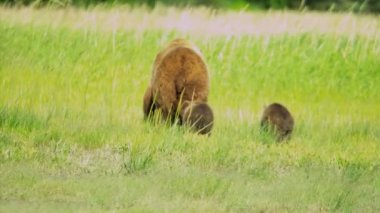 Female Brown Bear with cubs Wilderness grasslands — Stock Video