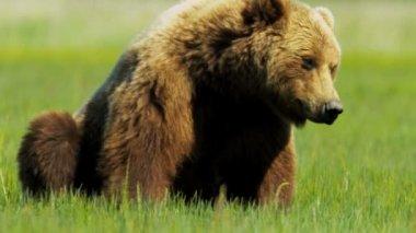 Large Alaskan Brown Bear resting in the summer sun,  Alaska, USA — Stock Video
