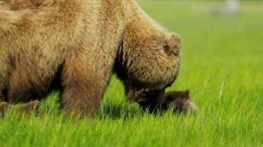 Brown female Bear with young cubs feeding from rich vegetation, Alaska, USA — Stock Video