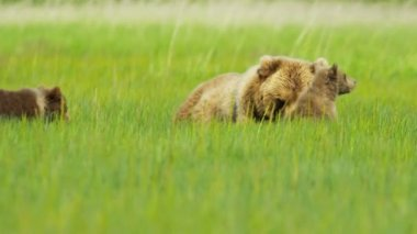 Female Brown Bear with cubs Wilderness grasslands, Alaska, USA — Stock Video