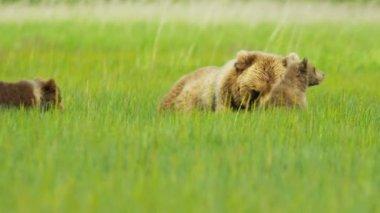Female Brown Bear with cubs Wilderness grasslands, Alaska, USA — Stock Video