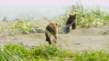 Canadian Brown Bear cubs playing catch me if you can, Canada — Stock Video