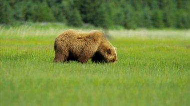 Female Brown Bear Ursus arctos feeding from rich vegetation, Alaska, USA — Stock Video