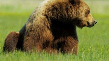 Brown Bear relaxing in summer Alaska USA — Stock Video