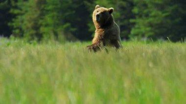 Braun weiblichen Bären aufrecht und bewusst vor dem Ausführen von Grasland — Stockvideo