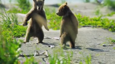 Baby Brown Bear cubs playing in summer time and having fun, Alaska, USA — Wideo stockowe