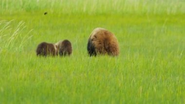 Young Brown Bear cubs and adult female Wilderness grasslands — Video Stock