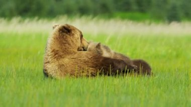 Young Brown Bear cubs feeding Wilderness grasslands, Alaska, USA — Stock Video