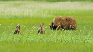 Young Brown Bear cubs and adult female Wilderness grasslands — Stock Video
