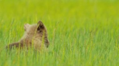 Brown Bear cub resting in summer grass, Alaska — Vídeo de Stock