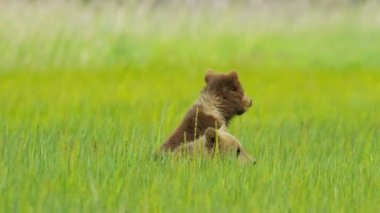Young Brown Bear cubs on Wilderness grasslands, Alaska, USA — Stock Video