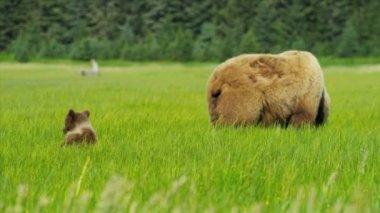 Brown female Bear feeding in rich Wilderness grasslands with her cubs Alaska — Stock Video