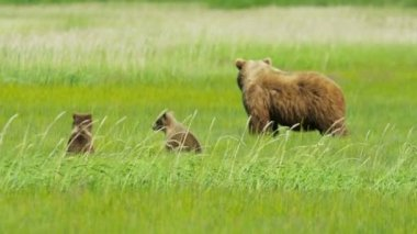 Young Brown Bear cubs relaxing guarded by adult female, Alaska, USA — Video Stock
