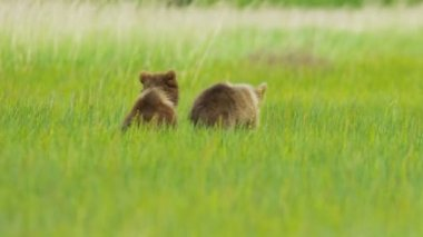 Young Brown Bear cubs and adult female summer time — Stock Video
