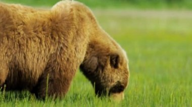 American Brown Bear feeding, Alaska USA — Stock Video