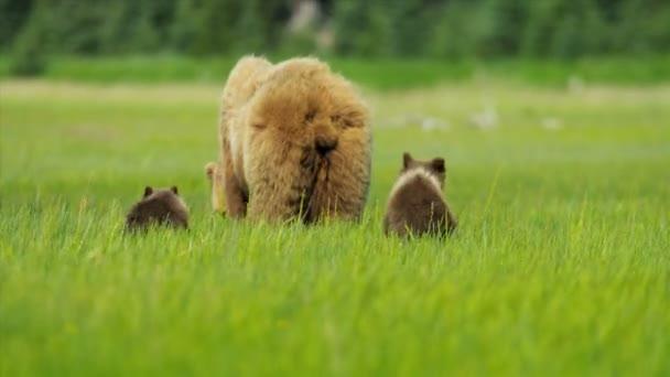 Oso marrón hembra con cachorros jóvenes de rica vegetación, Alaska, Estados Unidos — Vídeo de stock