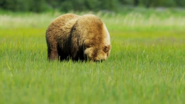 Oso pardo alimentando a ricos vegetación alaska, Estados Unidos — Vídeo de stock