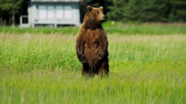 Hembra de oso pardo ursus arctos, mantener guardia sobre sus cachorros juguetones alaska, Estados Unidos — Vídeo de stock