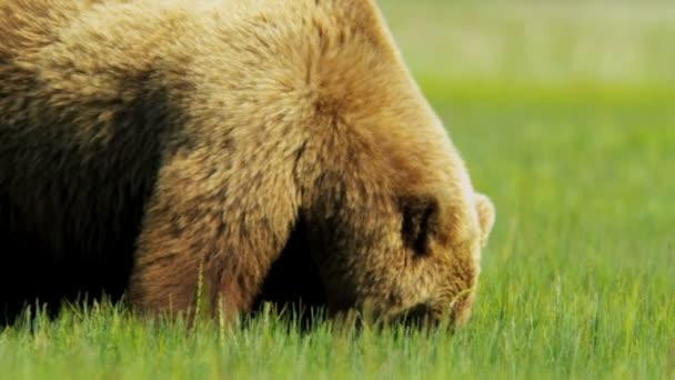Oso pardo alimentándose de vegetación de páramo de verano, alaska — Vídeo de stock