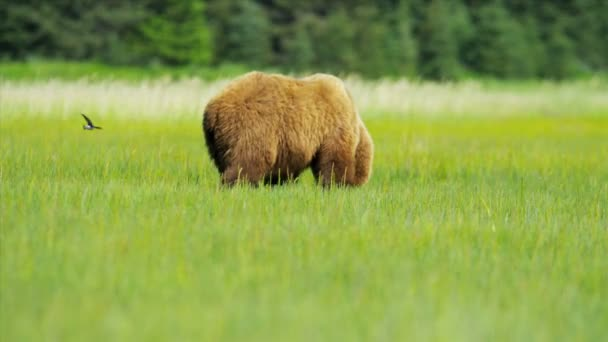 Oso pardo ursus arctos alimentación de rica vegetación — Vídeo de stock