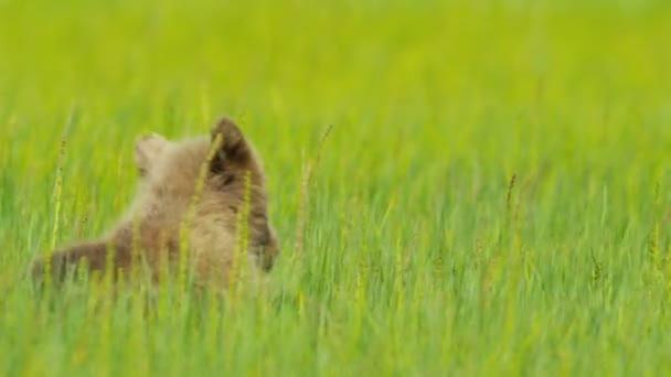 Cachorro de oso pardo descansando en la hierba del verano, alaska — Vídeo de stock