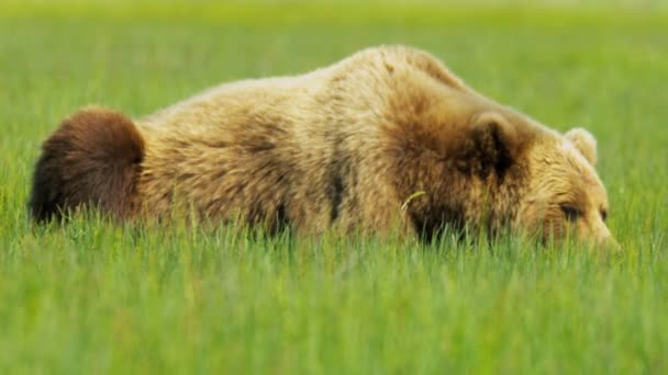 Ours brun au repos dans l'aire de nature sauvage de l'été, le parc national, alaska, usa — Vídeo de stock