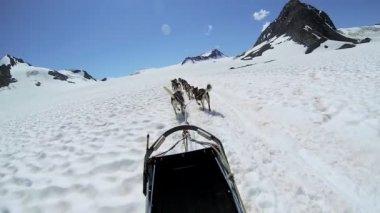 Alaskan dogsledding husky team — Stock Video