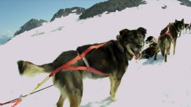 Harnessed dog sledge team — Stock Video