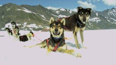 Resting Alaskan Malamute dogs — Stock video