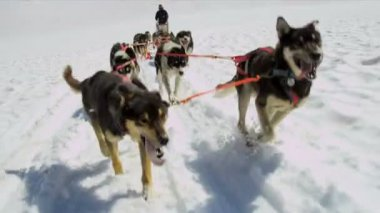 Working Alaskan Malamute dogs — Stock Video