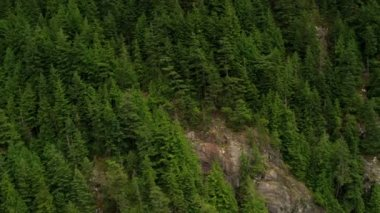 Aerial view forested mountainside mature evergreen trees, Rockies — Stock Video
