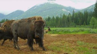 Erba di bufalo americano alimentazione, canada — Video Stock