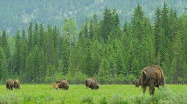 American Bison, USA — Stock Video