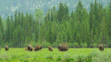 Herd of Buffalo grazing with calf, USA — Stock Video