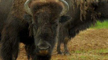 American Bison grass feeding, Canada — Stock Video