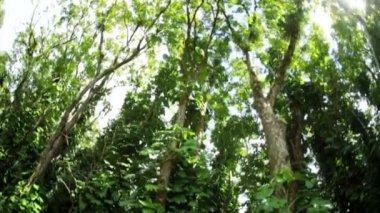 在茂盛的热带雨林中的树梢 — 图库视频影像