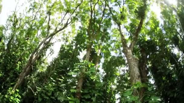 Cime des arbres dans la forêt tropicale luxuriante — Vidéo