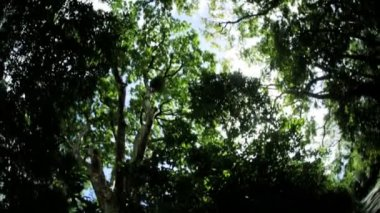 Treetops in lush tropical rainforest — Stock Video