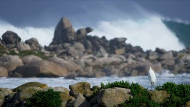Sea Bird Rocky Coastline Pounding Surf — Stock Video