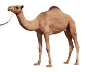 Camel on white background — Stock Photo