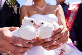 White wedding doves — Stock Photo