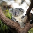 Cute koala on a tree — Stock Photo
