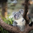 Cute koala on a tree — ストック写真 #16826441