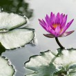 Lotus on pond — Stock Photo