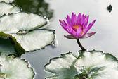 Lotus on pond — Stock Photo