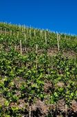 Wineyards — Stock Photo