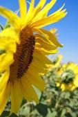 Kwiat słońca — Zdjęcie stockowe