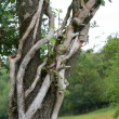 Knotty tree — Stock Photo