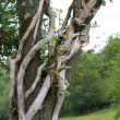 Stock Photo: Knotty tree